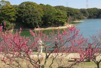 2017春、佐布里池の梅林(4/8):3月11日(4):佐布里池、山茶花、記念植樹の紅梅、淋子梅、世界の図、道知辺