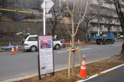 たまプラーザ駅前桜並木再生計画⑤ 2017年3月7日の作業状況