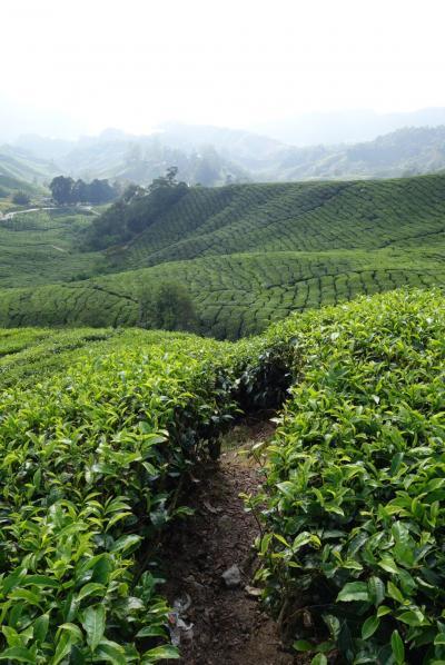 20170314 キャメロンハイランド 半日ツアー、茶畑 → Gunung Brinchang → 苔の森、Mossy forest → BOH Tea Farm → Butterfly garden → Strawberry Farm
