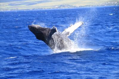 ザトウ鯨のパフォーマンスに興奮する日々