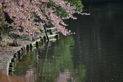 ぶらっと新宿御苑 #春の匂いを感じる3月。モクレン、ハナニラ、ボケに修善寺寒桜。花はきれいに咲いています。#