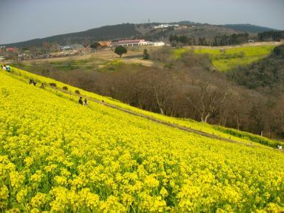 '17 菜の花が咲くマザー牧場2 (こぶたのレース~東斜面菜の花~ふれあい牧場~アルパカ~ミルクラーメン・ソフトクリーム)