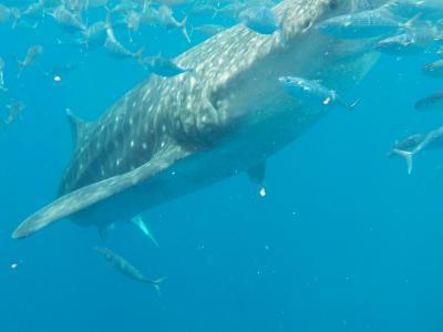 夏休み中学生とセブ母子旅行(4)番外編 オスロブジンベイザメ(海の中)