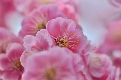 2017 安八百梅園(梅の種類の多さは、全国でも2番目)