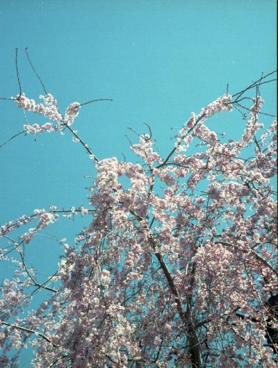 2017年3月24日の上野 桜は。。。。まだだね