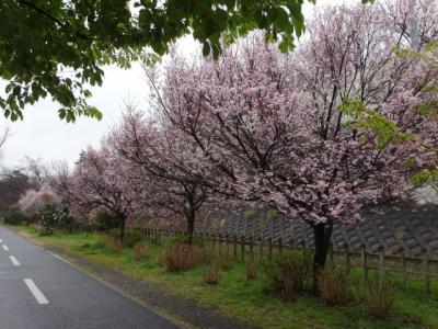 東村山中央公園の小彼岸桜 2017