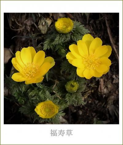 Solitary Journey[1890]発芽に1年、開花までに5年、株になるまでには10年!<ためしげ福寿草&備北丘陵公園>広島県庄原市