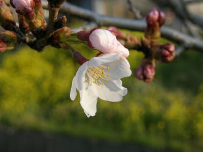 早朝ウォーキングで確認・・・久喜市鷲宮地区の桜開花宣言