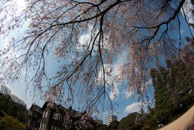 旧古河庭園のしだれ桜は満開