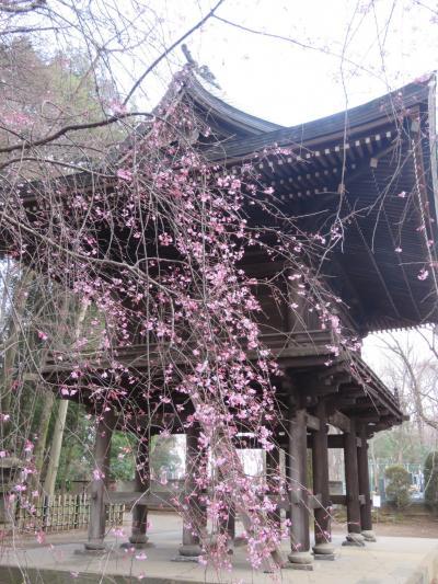 久しぶりに桜を求めて多福寺を訪問する