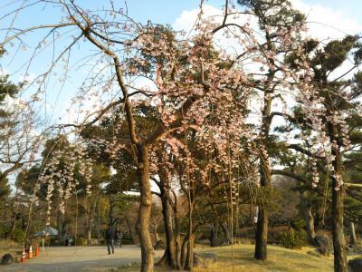 名古屋鶴舞公園と名古屋城の満開の桜はこれから。