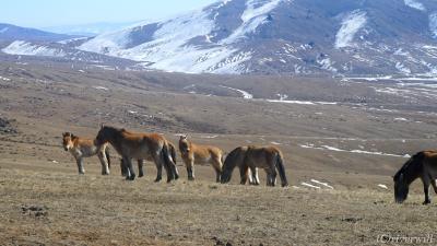 世界最後の野生馬タヒが生きる、大自然のホスタイ国立公園へ