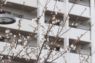 桜は何分咲き?