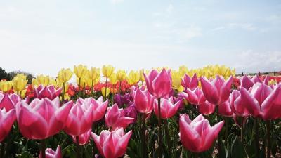 吉田のチューリップと川根の桜を巡った日