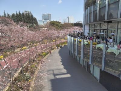 桜 街歩き 六本木