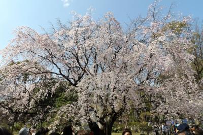 六義園の枝垂れ桜-2017年