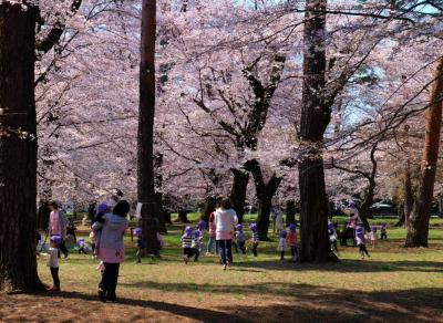 大宮公園 お花見に さくら満開 -上
