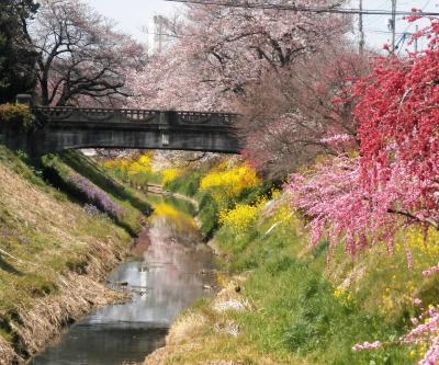 元荒川中流域の桜