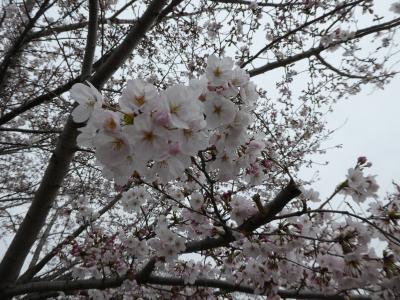奈良桜めぐりツアー(開花遅れに泣く?)日帰り編