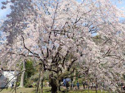ぶらりぶらりの花見の散歩