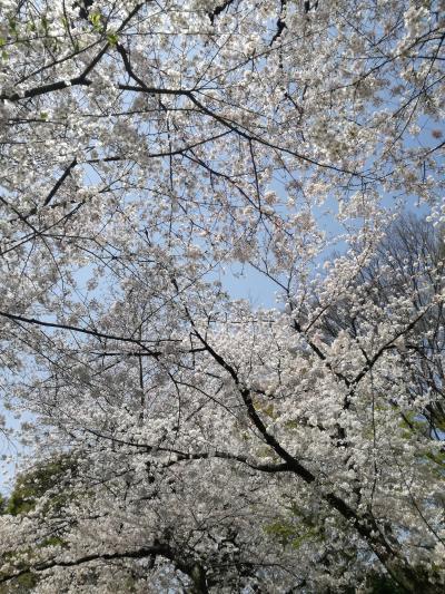 王子 桜散歩