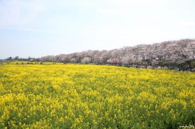 千本の桜と菜の花畑が楽しめる幸手権現堂桜堤