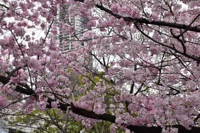 武蔵小杉界隈の桜と花桃散歩 2017(川崎)