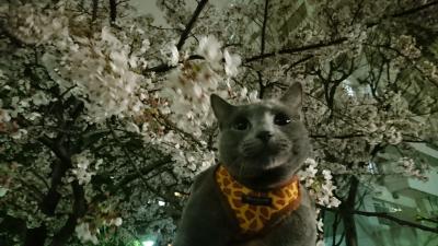 ときどき、猫とお散歩3     仙台堀川公園で夜桜見物