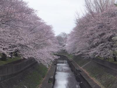 2017年の桜観賞・・・・・④善福寺川緑地公園