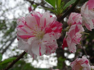 桜を求めて千駄ケ谷から信濃町を歩く2017~プチ駅からハイキングで色とりどりの桜を愛でる~