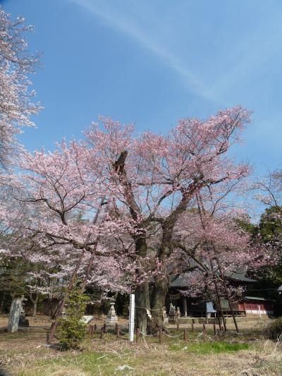 長柄神社のエドヒガンザクラ_2017_綺麗に咲いていました。(群馬県・邑楽町)