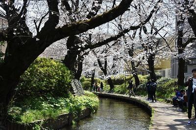 さくら咲く二ヶ領用水と久地円筒分水を歩いて