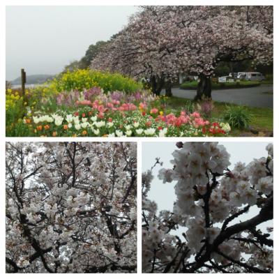 桜8分咲き ~佐鳴湖公園~