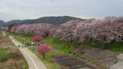 花見バスツアーに参加(09) 八幡市駅から徒歩で背割堤へ行き観桜 上巻。