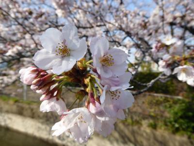 川口の知られざる桜の名所♪
