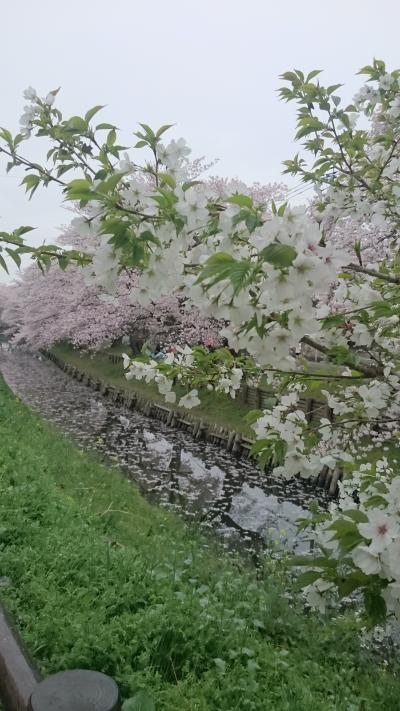 2017年川越の桜