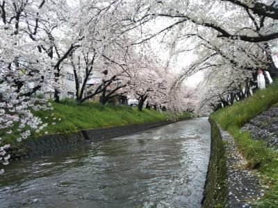 太鼓番を押せれる五条川の桜