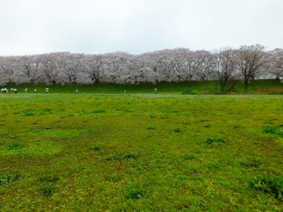 京都の桜は一週間で満開になったものの・・・!