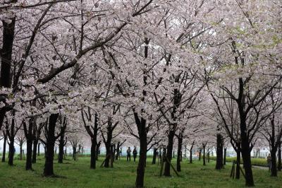 週末+満開≠混雑 〈仙台堀~小松川〉 江都の桜そぞろ歩き♪