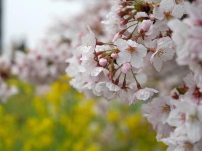 曇り空でしたが、熊谷桜堤&大宮公園で満開の桜を楽しみました