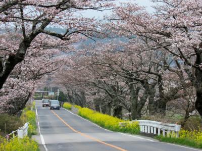 桜を求めて③~さくら市旧喜連川の早乙女桜並木と菜の花