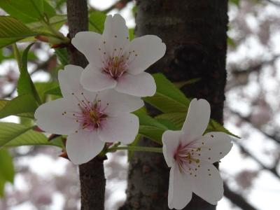 北本の日本五大桜を訪ねて~駅からハイキングを参考に北本駅周辺の桜巡り~