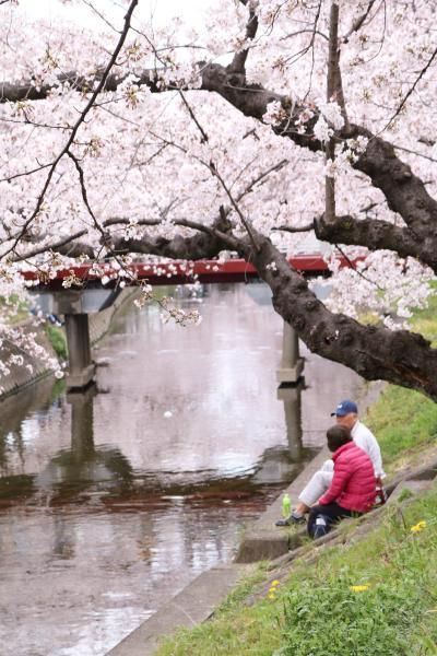 1日で巡った桜の名所めぐり♪ 名古屋城&五条川