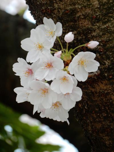 亀戸中央公園の桜見納め