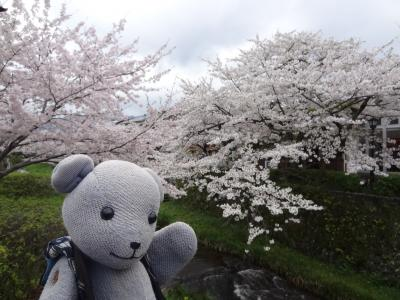 山口市の桜2017~桜のなかった桜ウォークから満開まで