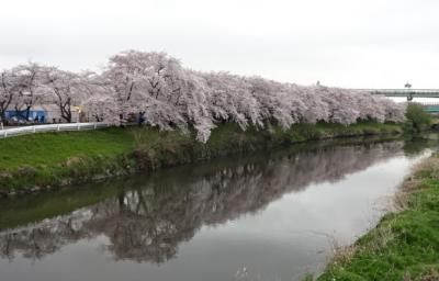 H29年 清州桜まつり<1>