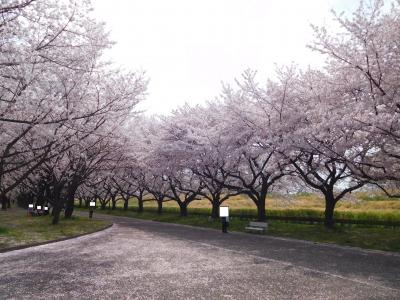 川越水上公園桜