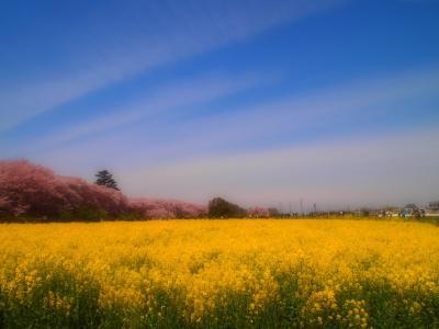 ☆彡春色の二重奏☆彡幸手桜まつり権現堂
