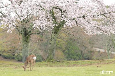春の福井&奈良☆かわいい動物巡りの旅(3)<奈良公園の鹿たち>