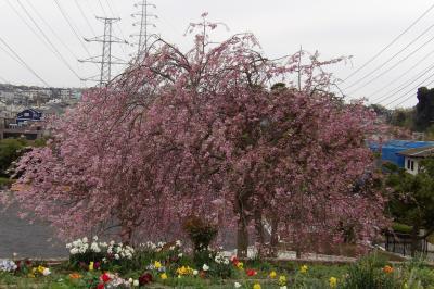 本郷台四丁目第二公園の紅枝垂れ桜